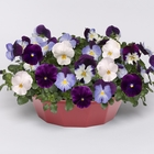 starter plants : Pansy Cool Wave Berries 'n Cream