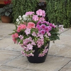 starter plants : Pink Panther (patio container insert)