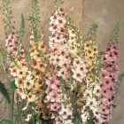 starter plants : Verbascum Southern Charm