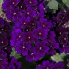 starter plants : Verbena Showboat Midnight