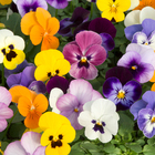 starter plants : Viola Sorbet Autumn Mixed