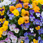 starter plants : Viola Teardrops Mixed