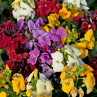 starter plants : Wallflower Sugar Rush Mixed