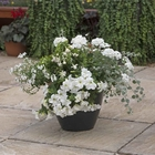 starter plants : White Heat (patio container insert)